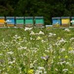 Consulenza-in-apicoltura_popup
