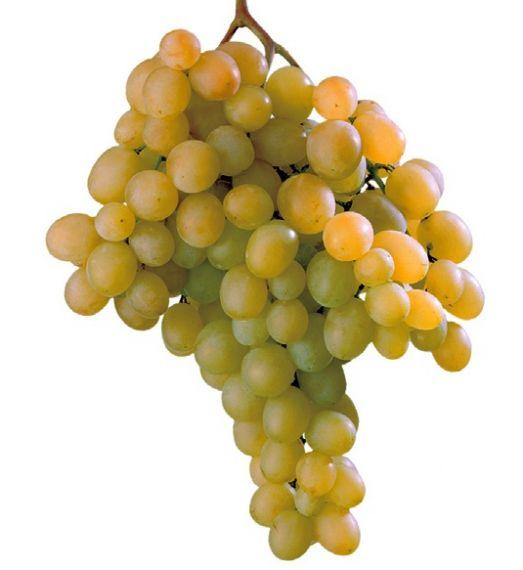 La maturazione dell 39 uva enotecnica albese enologia - Piante uva da tavola ...
